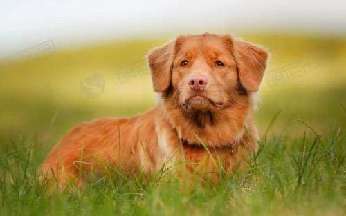 金毛寻回幼犬吃什么狗粮比较好?